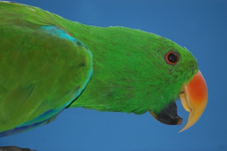 qld: portrait of female Australian red-sided parrot, Eclectus roratus