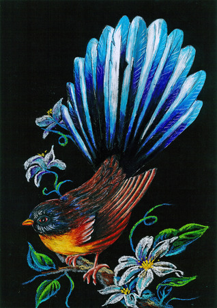 fantail: Crayon rendering on black background of a New Zealand fantail