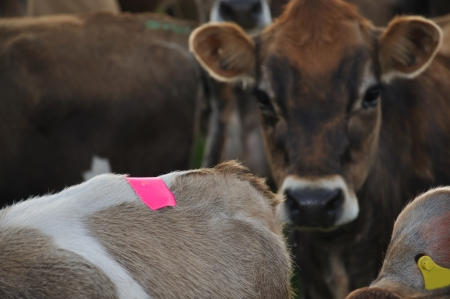 landuse: Jersey cow wearing tail patch for detecting activity when she is on heat, Westland, New Zealand Stock Photo