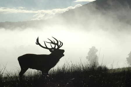 bellowing: 13 point red deer stag roaring in the morning fog, West Coast, South Island, New Zealand Stock Photo