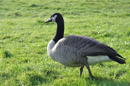 canadensis: Canada Goose, Branta canadensis, West Coast, South Island, New Zealand