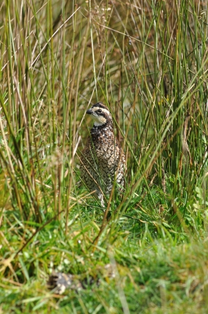 virginianus: male Northern Bobwhite, Virginia Quail or Bobwhite Quail, Colinus virginianus, a ground-dwelling bird native to the United States, Mexico, and the Caribbean, and a favourite with gamebird shooters.