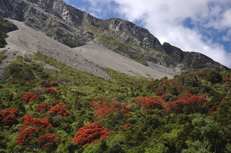 Southern rata, Metrosideros umbellata, in  Arthurs Pass National Park, Westland, New Zealand  Banco de Imagens