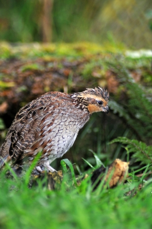 shooters: female Northern Bobwhite, Virginia Quail or Bobwhite Quail, Colinus virginianus, a ground-dwelling bird native to the United States, Mexico, and the Caribbean, and a favourite with gamebird shooters. Stock Photo