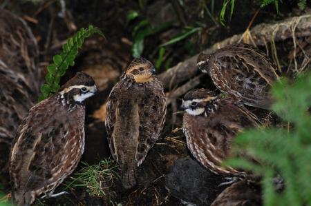 grupo de Northern Bobwhite, Virginia codorniz o las codornices, Colinus virginianus, un ave nativa de la tierra-vivienda de los Estados Unidos, México y el Caribe, y uno de los favoritos entre los tiradores del gamebird.