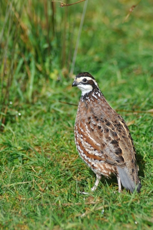 shooters: male Northern Bobwhite, Virginia Quail or Bobwhite Quail, Colinus virginianus, a ground-dwelling bird native to the United States, Mexico, and the Caribbean, and a favourite with gamebird shooters.