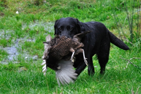 Black labrador gamedog retrieving female pheasant, West Coast, South Island, New Zealand photo