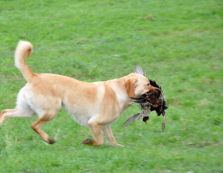 Golden labrador gamedog retrieving female pheasant, West Coast, South Island, New Zealand photo