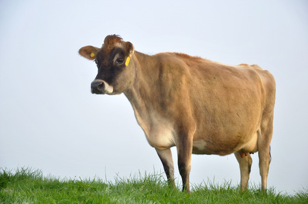 Jersey cow on pasture in morning mist, West Coast, New Zealand Stock Photo