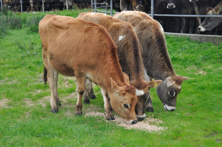 Three well bred Jersey calves, West Coast, New Zealand photo