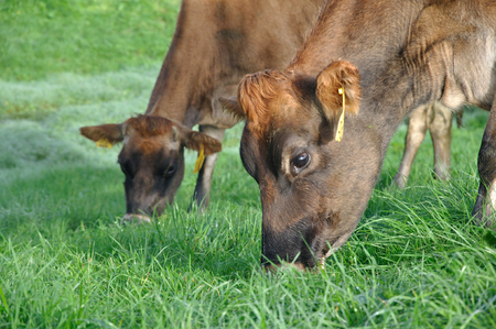 landuse: Jersey cows on pasture, West Coast, New Zealand Stock Photo