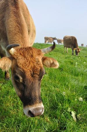 landuse: Jersey cows on pasture, West Coast, New Zealand Stock Photo