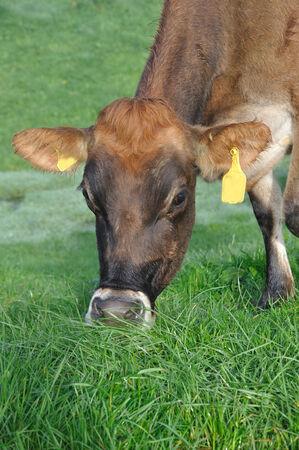 landuse: Jersey cow on pasture, West Coast, New Zealand