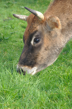 landuse: portrait of Jersey cow on pasture, West Coast, New Zealand