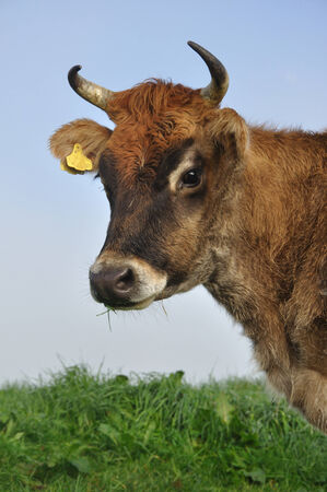 bovidae: Jersey cow on pasture in morning mist, West Coast, New Zealand Stock Photo