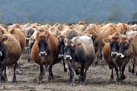 landuse: Jersey cows coming in from pasture, West Coast, New Zealand