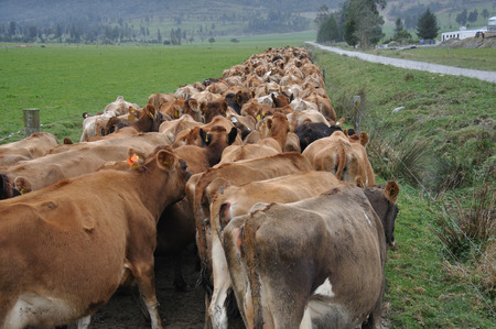 landuse: Jersey cows heading down race to dairy, West Coast, New Zealand Stock Photo
