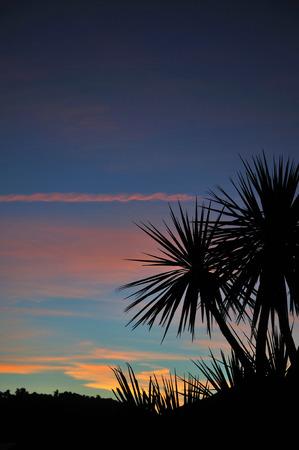 cordyline: Cabbage tree at sunset, Westland, South Island, New Zealand