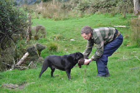 outside shooting: GREYMOUTH, NEW ZEALAND, CIRCA 2010: Black labrador gamedog retrieves a female pheasant for its unidentified owner