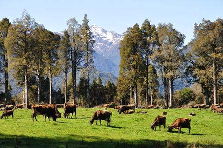 Jersey cows on pasture, West Coast, New Zealand Stok Fotoğraf