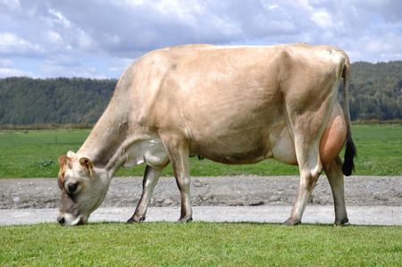 ag: High production pedigree Jersey cow showing off udder attachment, West Coast, New Zealand
