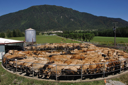 High production pedigree Jersey cow showing off udder attachment, West Coast, New Zealand photo