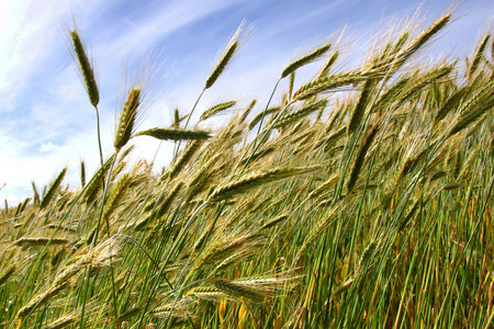 Detail of triticale crop grown for silage, West Coast, New Zealand Stock Photo