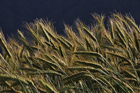 Detail of triticale crop grown for silage, West Coast, New Zealand photo