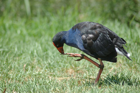 purple swamphen: Pukeko, or purple swamphen, Porphyrio porphyrio, pecking at its foot