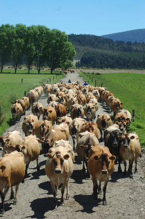 farmers bringing in Jersey herd for milking, West Coast, South Island