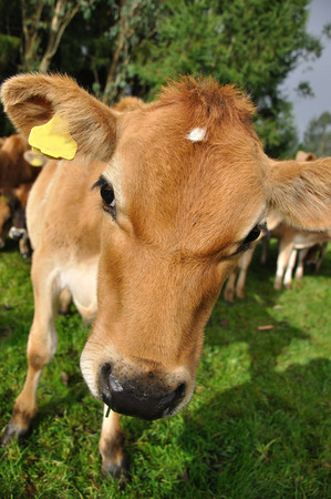 bovid: nosey Jersey calf