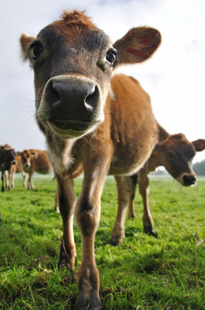 young jersey calf distorted by wide angle lens photo