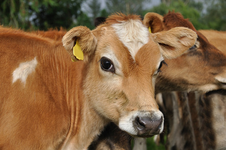Portrait of Jersey calf Stock Photo - 28799775