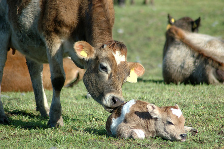 Mother Jersey cow licking newborn calf, West Coast, New Zealand photo
