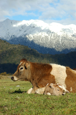 Mother Jersey cow with newborn calf, West Coast, New Zealand photo