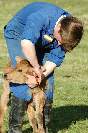 Farmer ear tagging newborn calf, West Coast, New Zealand photo