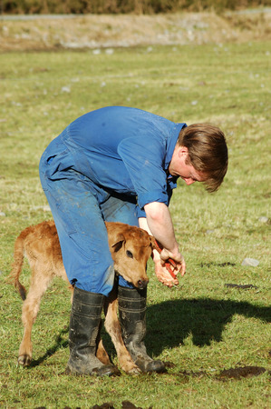 Farmer ear tagging newborn calf, West Coast, New Zealand photo