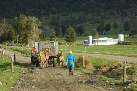 landuse: Farmhand in vehicle and a boy walking cows and newborn calves to the dairy, West Coast, New Zealand
