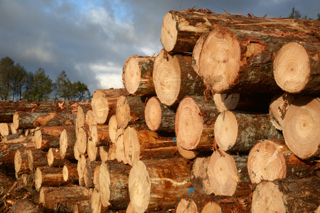radiata: Pinus Radiata logs cut, stacked and ready to be sorted at the logging site