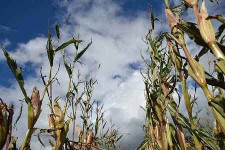 act of god: Maize crop damaged by cyclonic winds a day before harvest, Westland, New Zealand