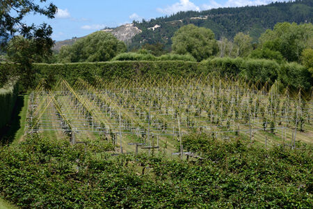 cropping: crops of kiwifruit or Chinese gooseberry, Actinidia deliciosa, growing near Nelson, New Zealand Stock Photo
