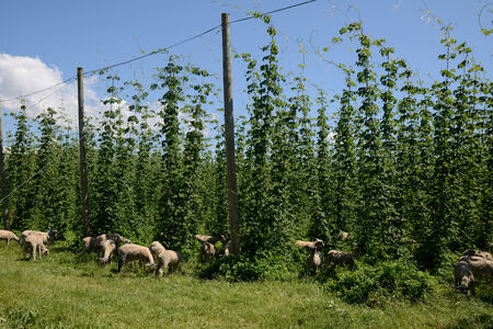 humulus lupulus: A mob of sheep graze among the rows of hops growing near Nelson, New Zealand Stock Photo