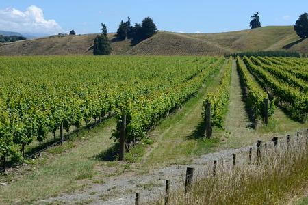 nelson: Lush summer growth on a vineyard near Nelson, New Zealand