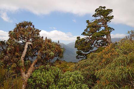 to dominate: A New Zealand Cedar dominate the horizon in a patch of alpine native forest in Westland. Libocedrus bidwillii are variously called Pāhautea, Kaikawaka or New Zealand cedar.