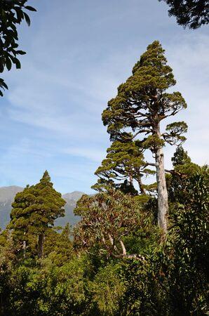 variously: A New Zealand Cedar dominates a patch of alpine native forest in Westland. Libocedrus bidwillii are variously called Pāhautea, Kaikawaka or New Zealand cedar. Stock Photo