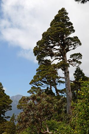 variously: A New Zealand Cedar dominates a patch of alpine native forest in Westland. Libocedrus bidwillii are variously called Pāhautea, Kaikawaka or New Zealand cedar. Stock Photo