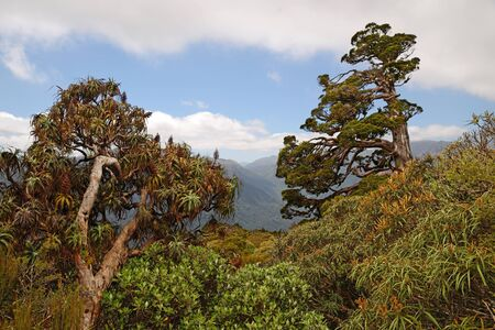 variously: A New Zealand Cedar dominate the horizon in a patch of alpine native forest in Westland. Libocedrus bidwillii are variously called Pāhautea, Kaikawaka or New Zealand cedar.