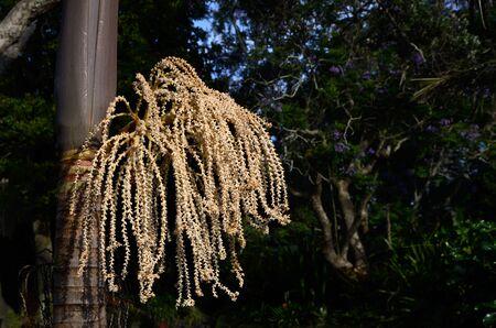 reproducing: Nikau palm tree in flower