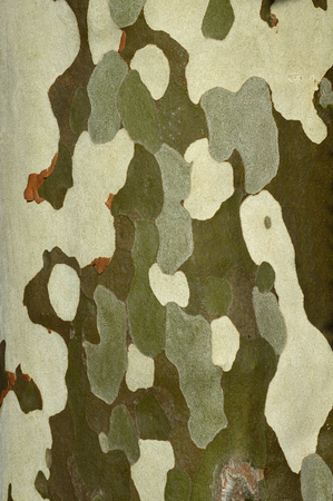 distinctive: background of distinctive bark texture on a deciduous tree