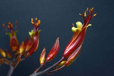 new zealand flax: Flowers of New Zealand swamp flax, Phormium tenax.